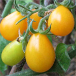 tomate cherry pera amarillo