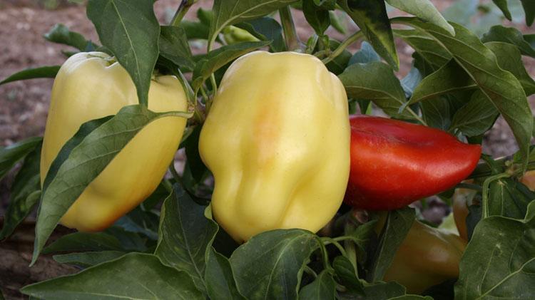 Pimiento amarillo o morrón