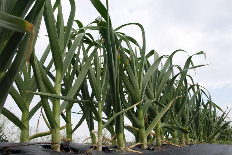 Planta de cebolletas
