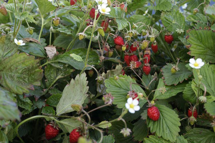 fresas en la mata