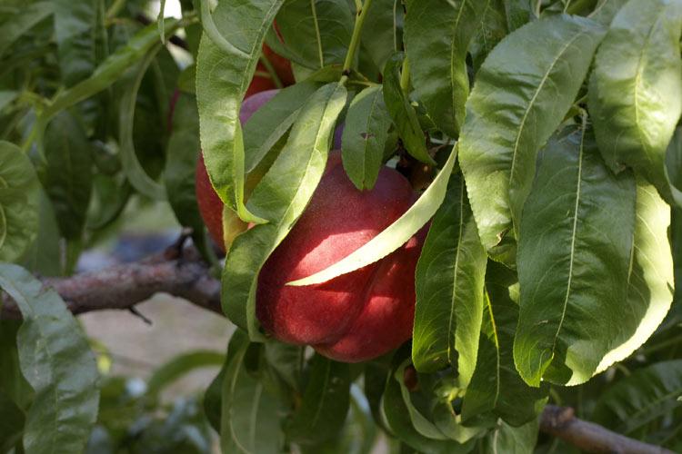 Nectarina en el árbol