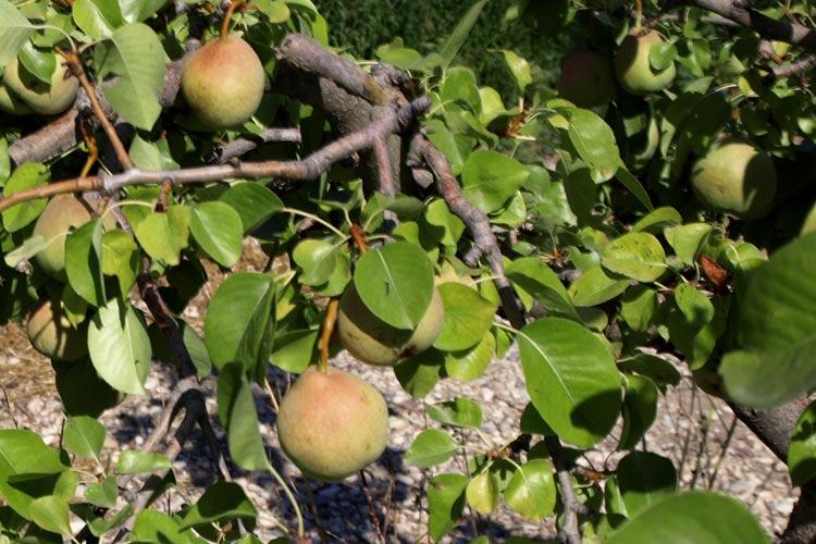 Peras en árbol